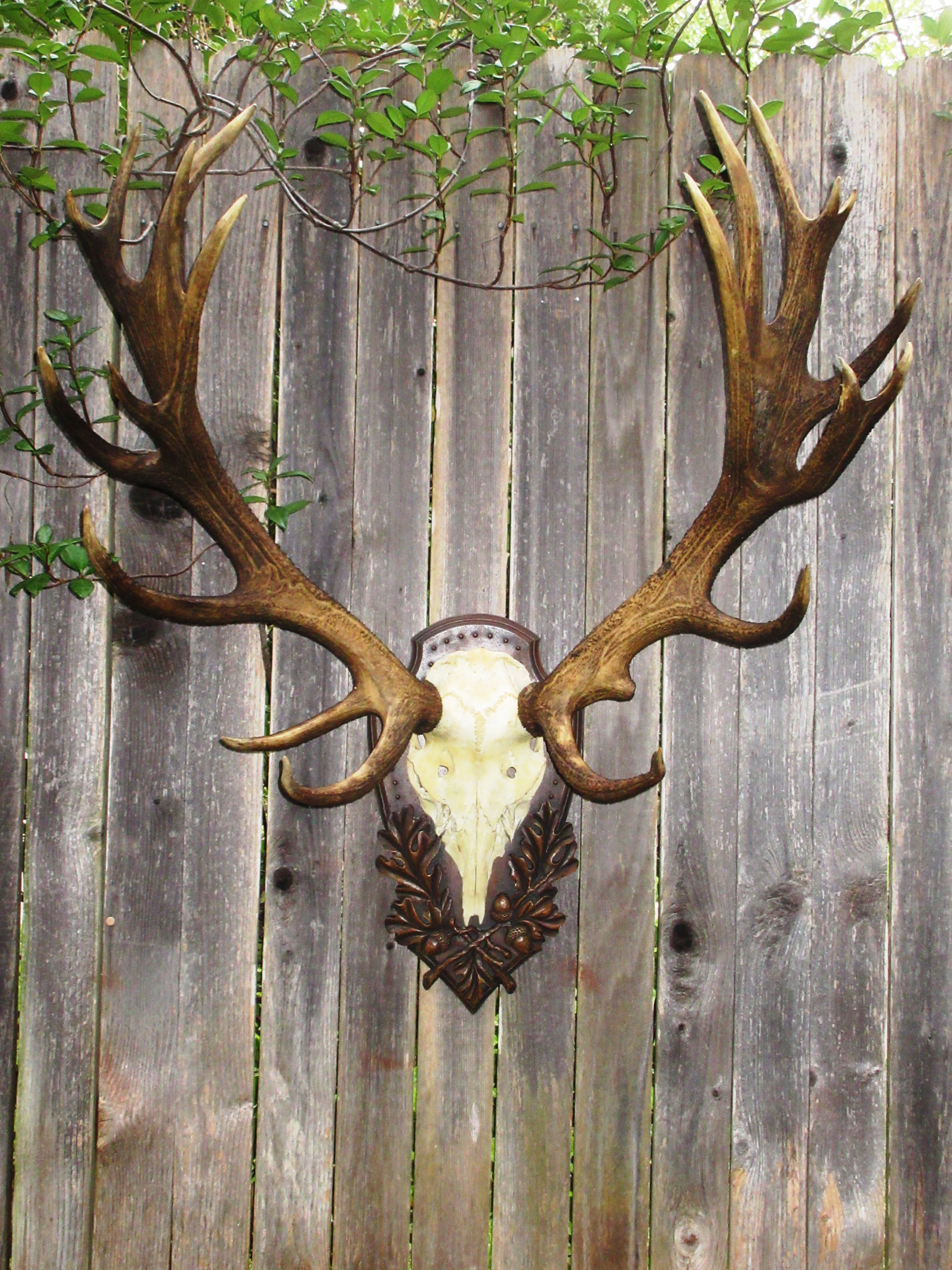 European style stag antlers mounted on the Heritage Game Mounts Tradition Panel