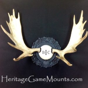 taxidermy mount - moose