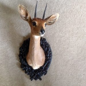 taxidermy mount - Steenbok on Oak Leaf Panel