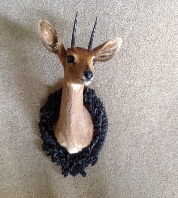 taxidermy mount - Steenbok on Oak Leaf Panel